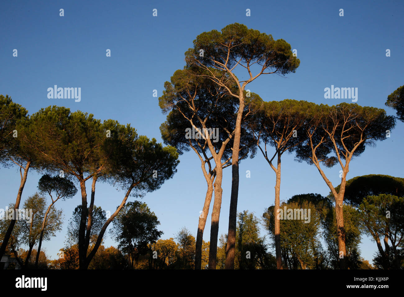 Pine trees in the Villa Borghese, Rome. Italy. - Stock Image