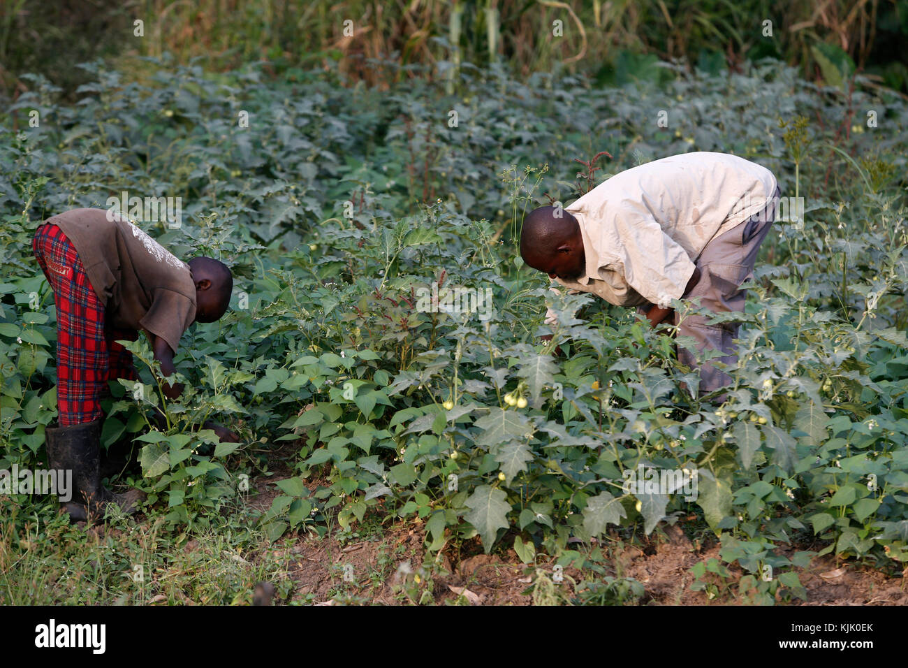 Farmer Apollo Byarunga received 2 loans from ENCOT microfinance. He is working with his son. Uganda - Stock Image