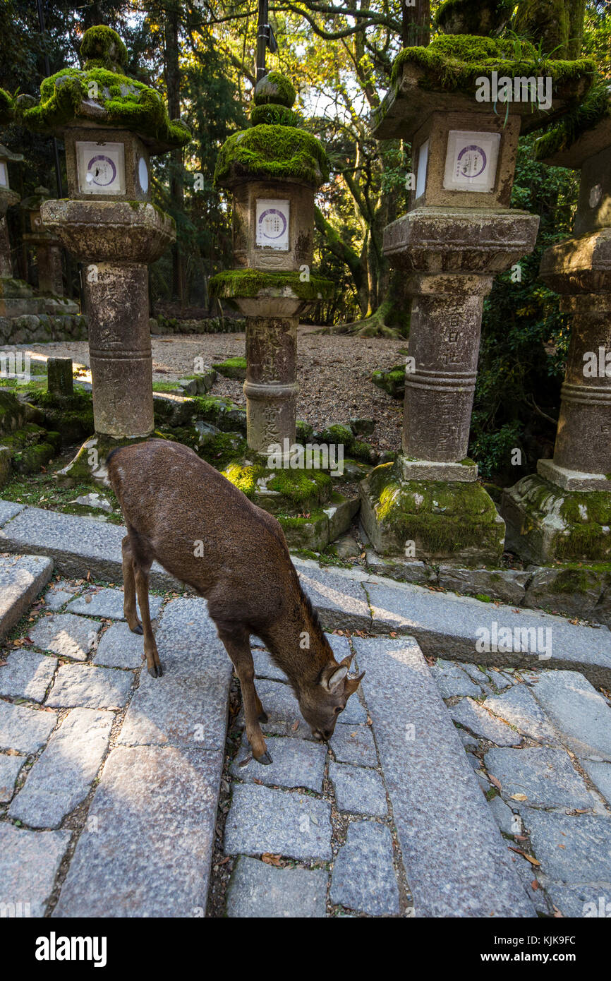 Kasuka Srhine Lanterns & Deer - Kasuga Taisha is famous for its many lanterns which were donated by worshippers. - Stock Image