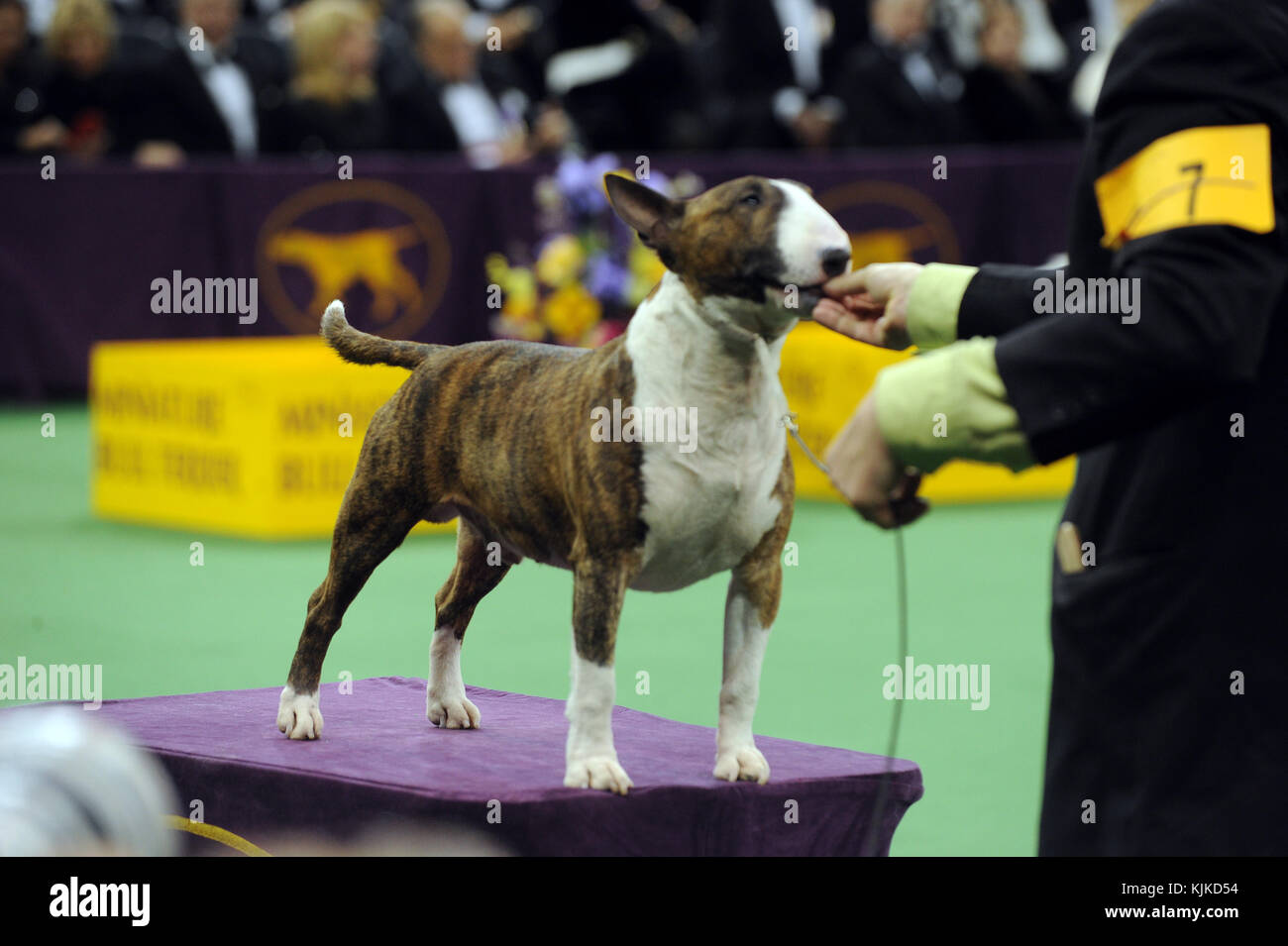 NEW YORK, NEW YORK - FEBRUARY 16: Handler Valerie Nunes-Atkinson and her dog CJ, a German Shorthaired Pointer, win Stock Photo