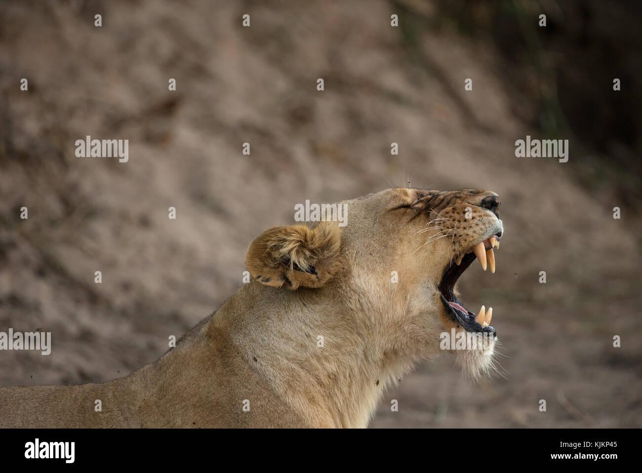 Serengeti National Park. Lioness yawning (Panthera leo).  Tanzania. - Stock Image