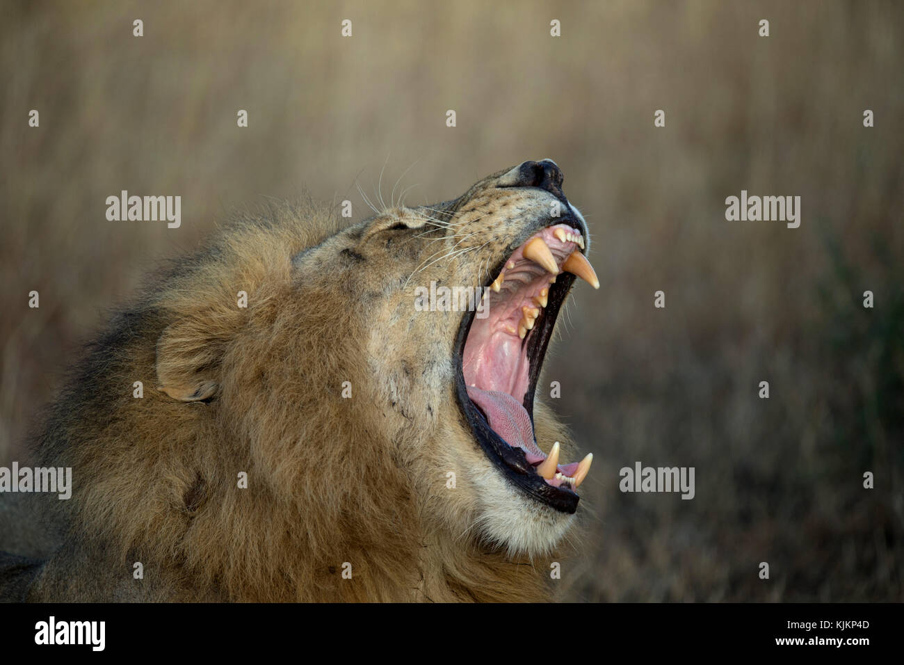 Serengeti National Park. Lion yawning (Panthera leo).  Tanzania. - Stock Image