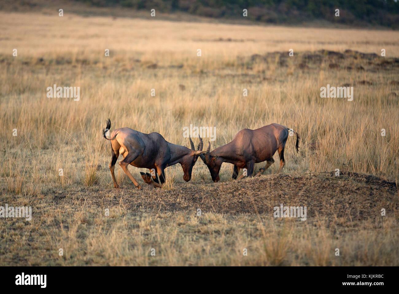 Masai Mara National Reserve. Topi (damaliscus Lunatus).  Kenya. - Stock Image