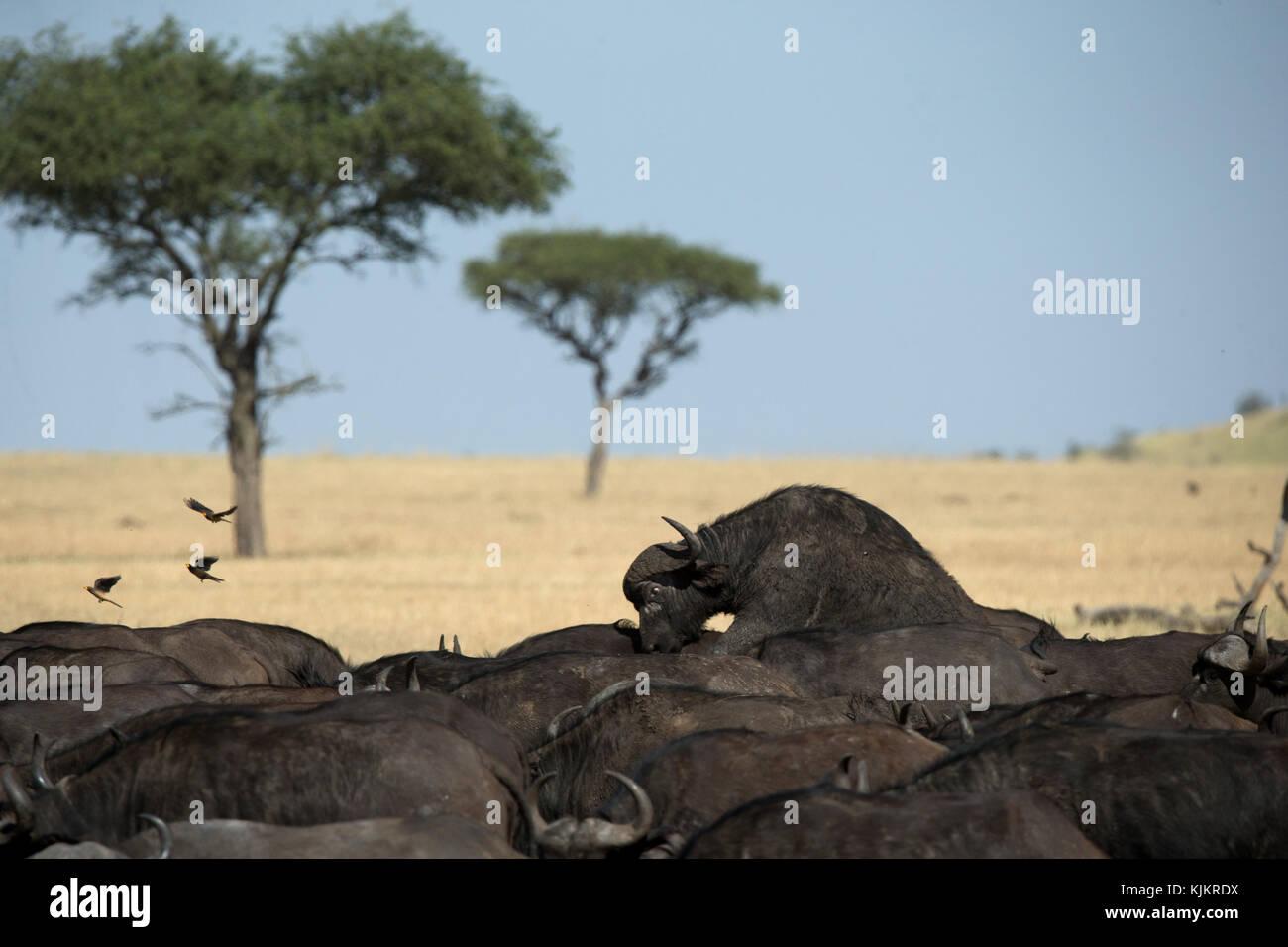 Serengeti National Park.  African Buffalos. Tanzania. - Stock Image