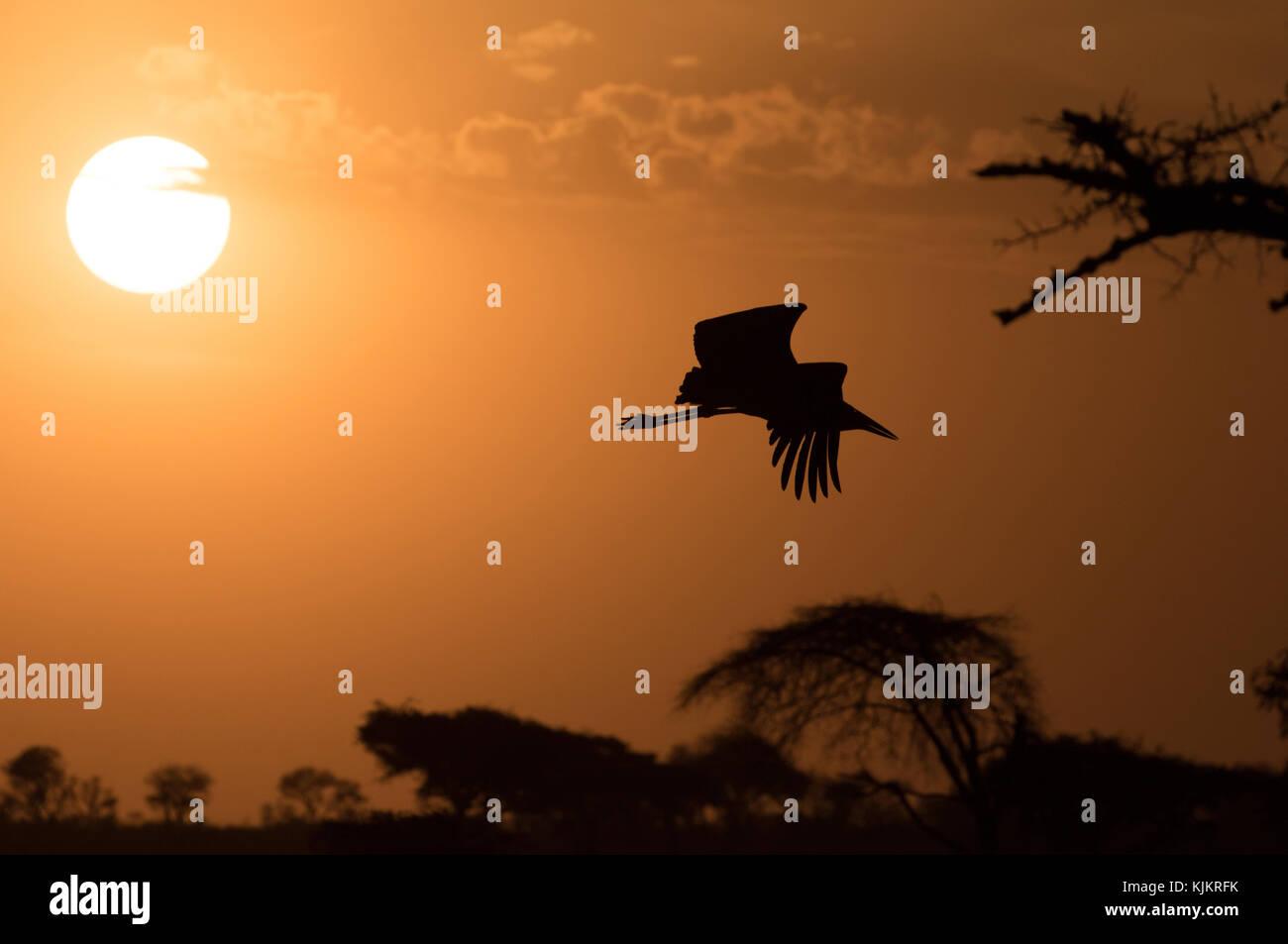 Serengeti National Park. Egyptian Gooses (Alopochen aegyptiacus). A Marabou Stork ( Leptoptilos crumeniferus) in - Stock Image