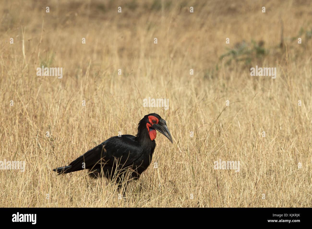 Serengeti National Park. Southern ground hornbill (Bucorvus leadbeateri) .  Tanzania. - Stock Image