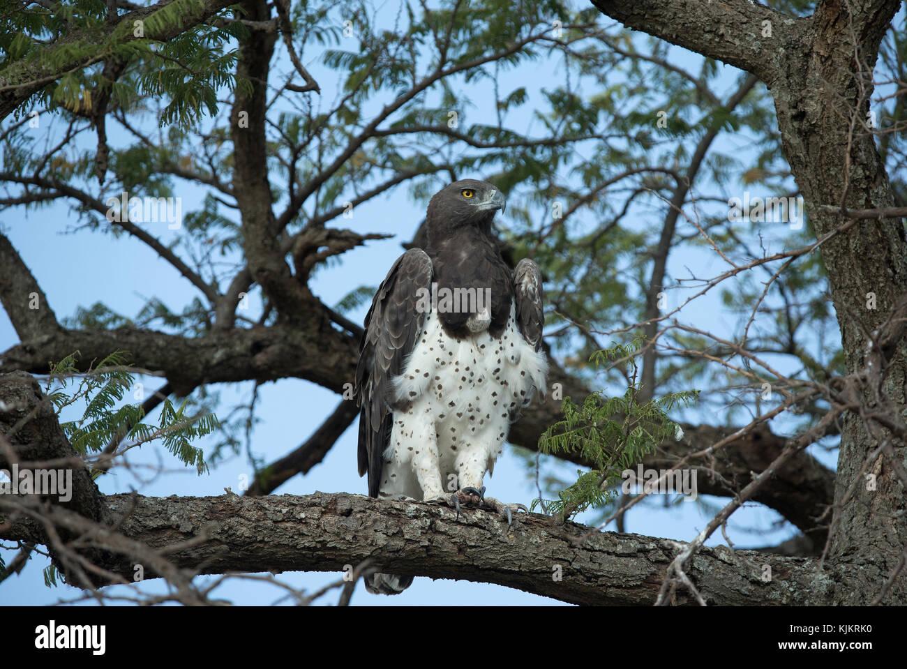 Serengeti National Park. Martial eagle, Polemaetus bellicosus, perching on a tree. Tanzania. - Stock Image