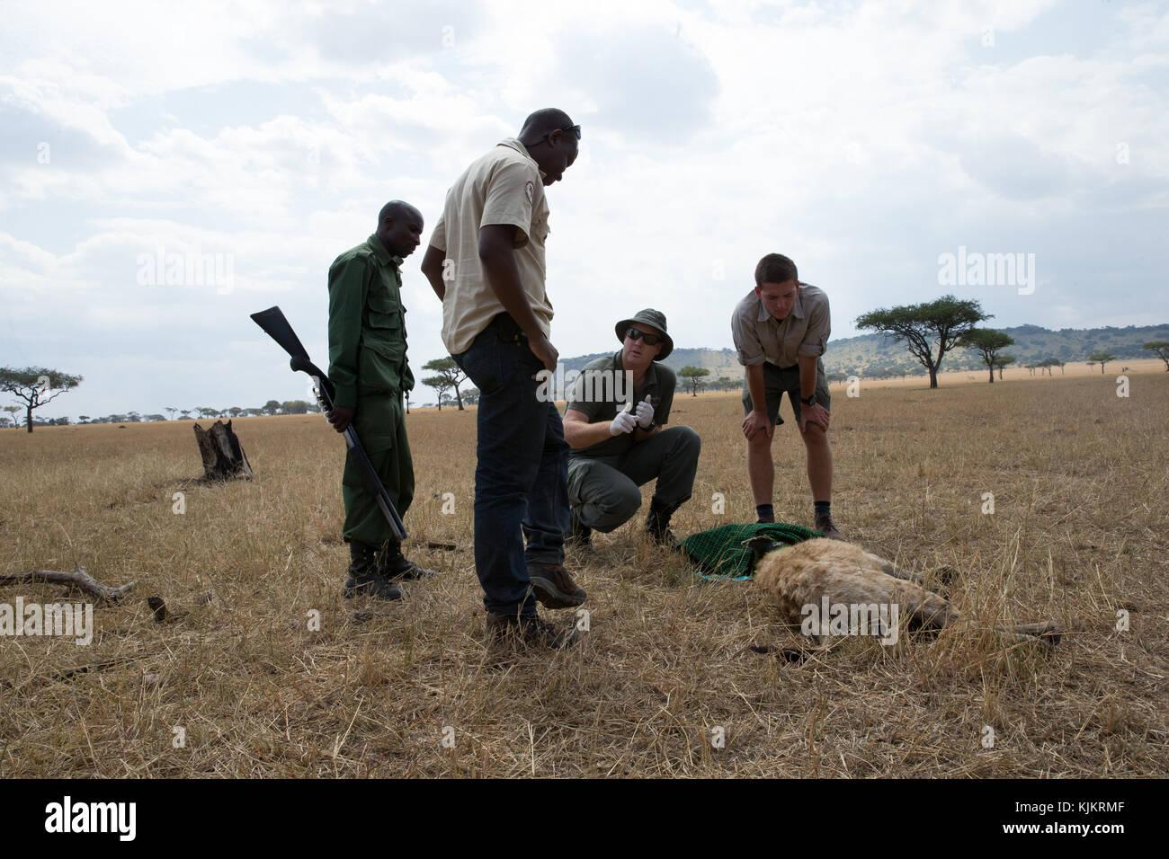 Serengeti National Park. Veterinary checking hyena. Tanzania. - Stock Image