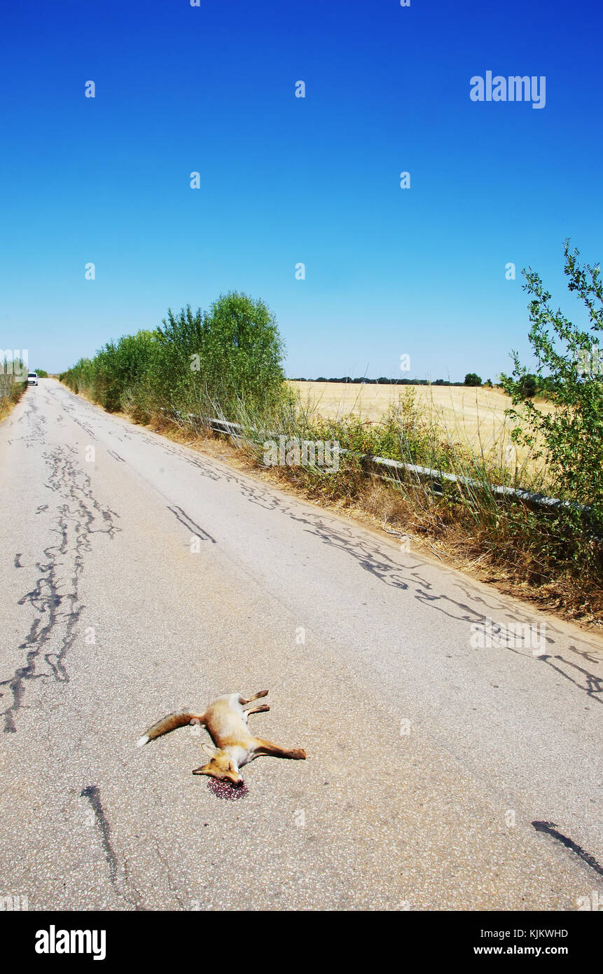 Dead fox killed on the roads at soth of Portugal Stock Photo
