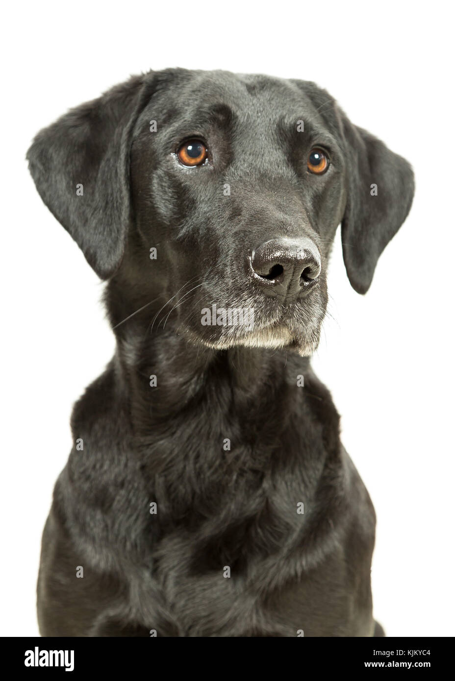 Working Black Lab Labrador Retriever sitting on white background Stock Photo