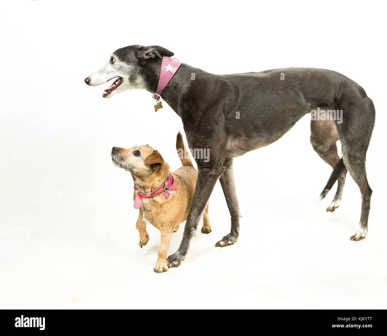 Greyhound with Jack Russell-Border Terrier on White Background - Stock Image