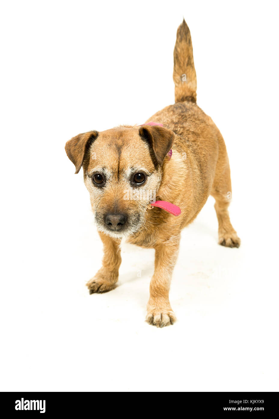Jack Russell-Border Terrier crossbreed on White Background - Stock Image