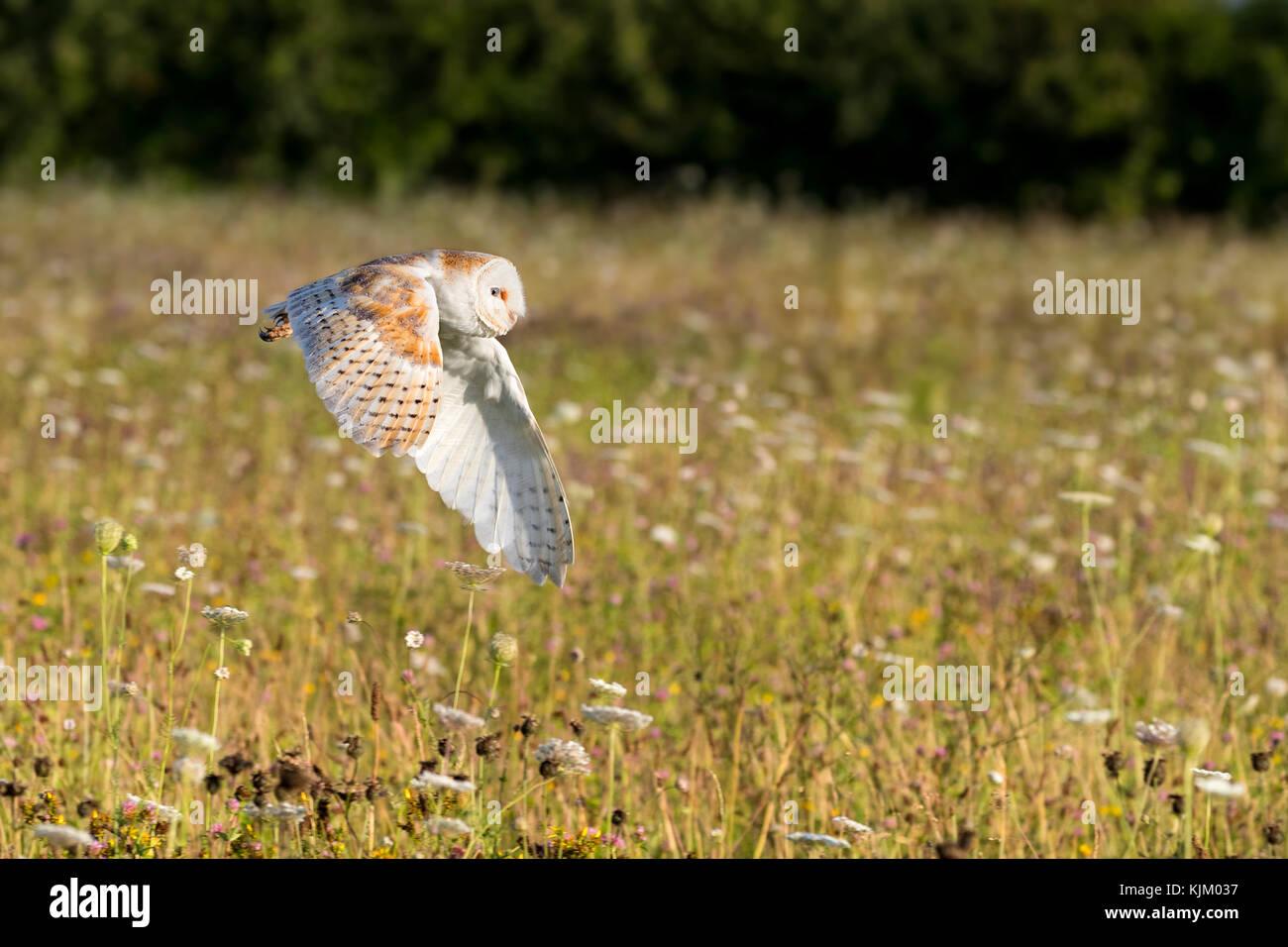 Barn owl in flight Stock Photo