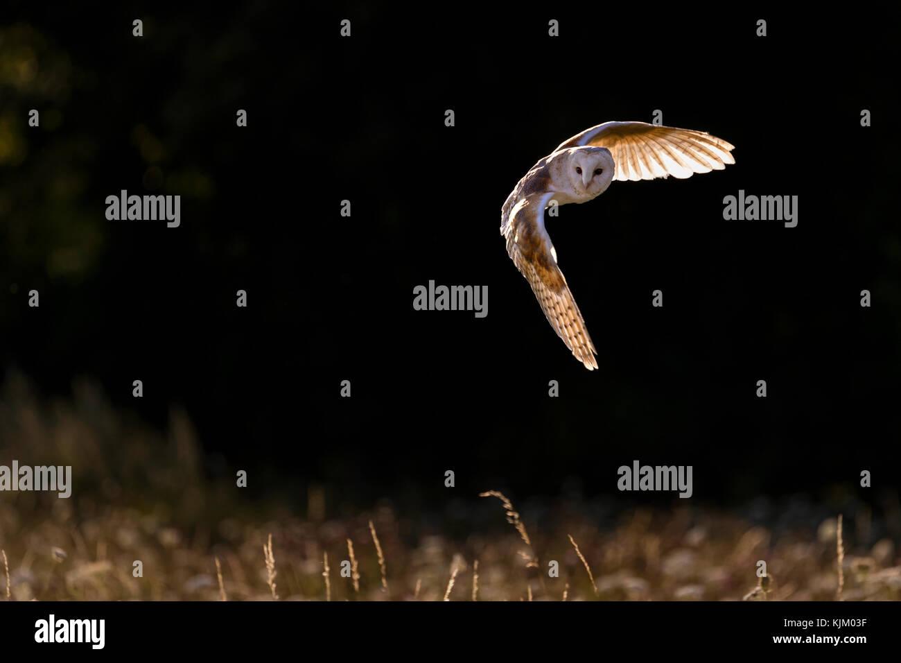 Barn owl in flight, backlit - Stock Image