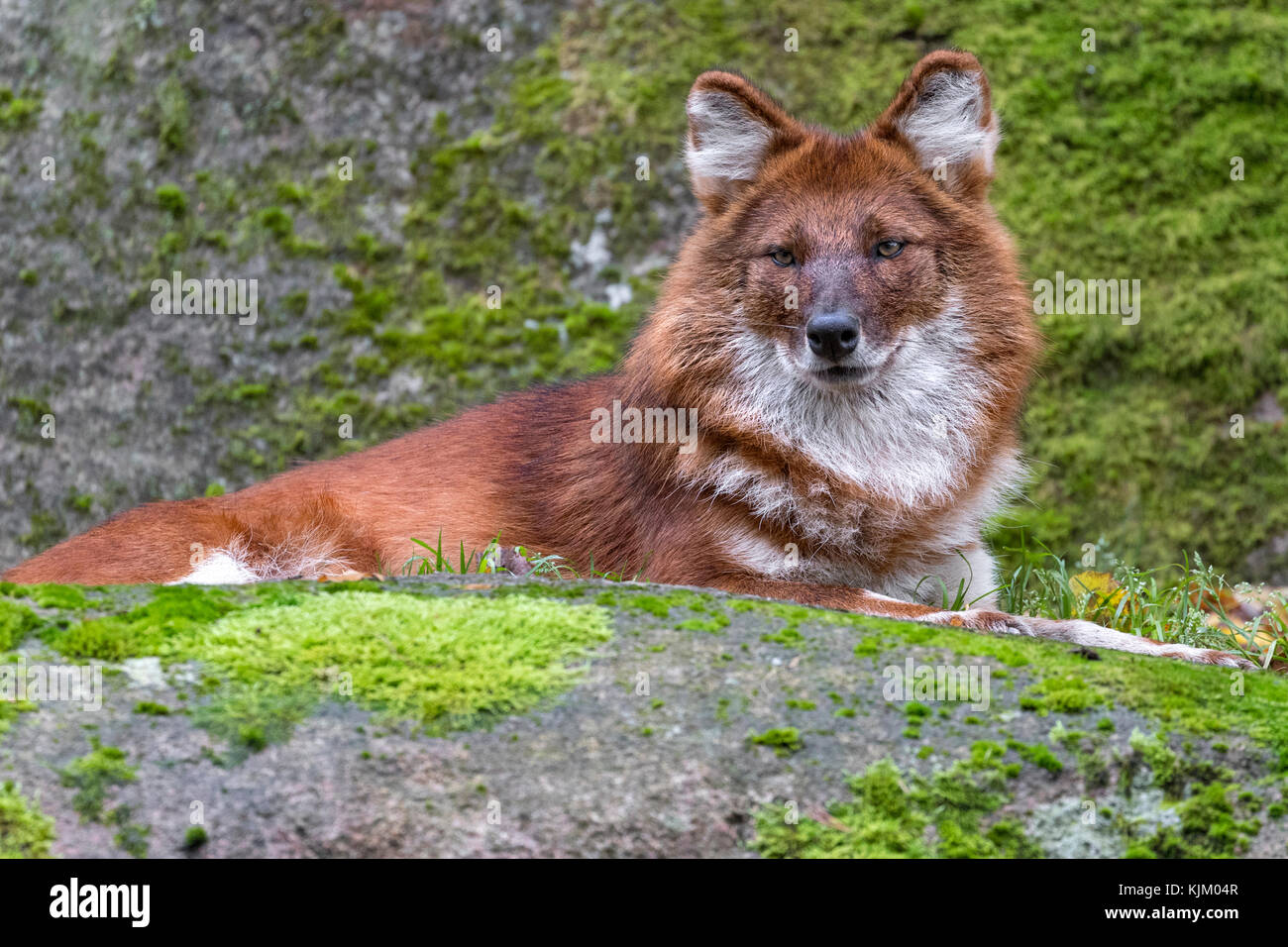 Dhole or Asiatic wild dog - Stock Image