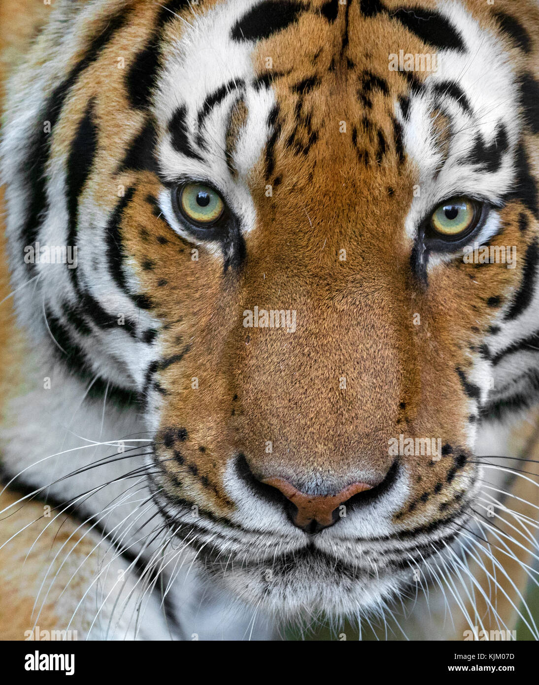 Portrait of an Amur tiger - Stock Image