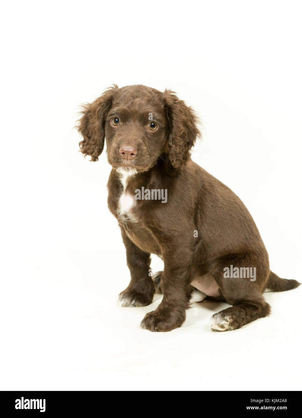 Working Cocker Spaniel Puppy on White Background - Stock Image