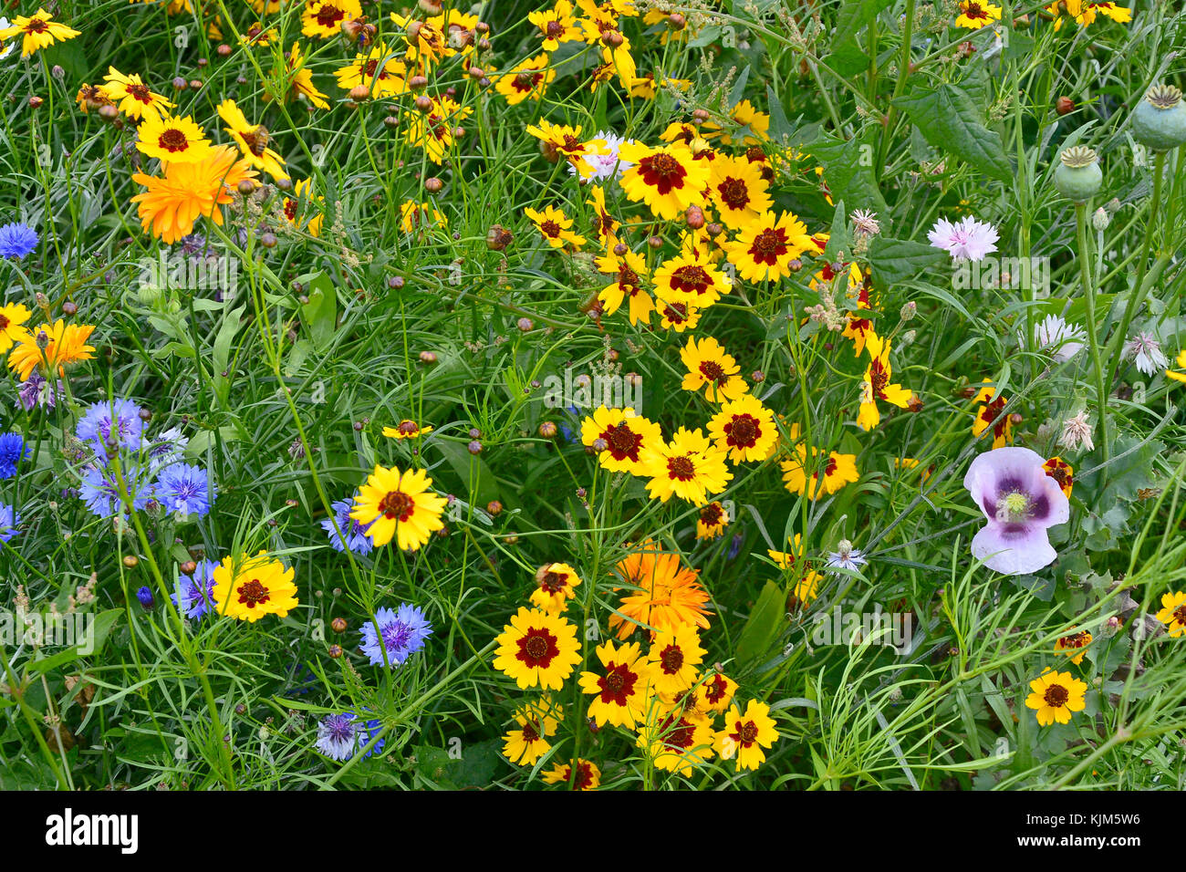 A golden and colourful naturaly planted flower meadow with Coreopsis , Cornflowers, Poppy heads and marigolds Stock Photo