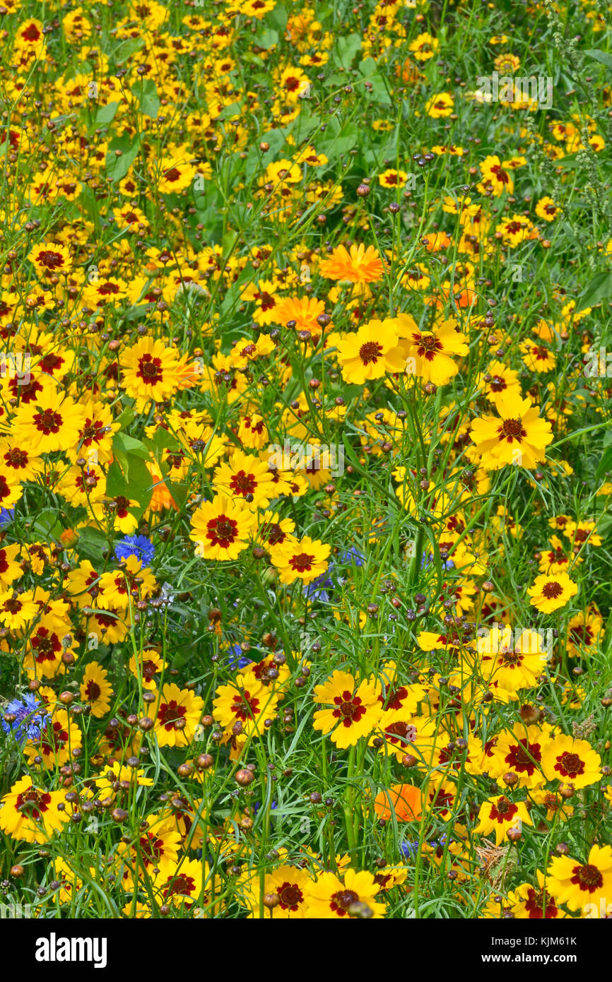 A golden and colourful naturaly planted flower meadow with Coreopsis , Cornflowers and marigolds Stock Photo