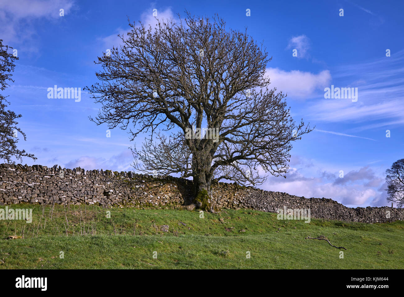 Leafless Ash tree and drystone wall contrasted against a blue, autumnal sky. Looking South East on footpath Keld - Stock Image