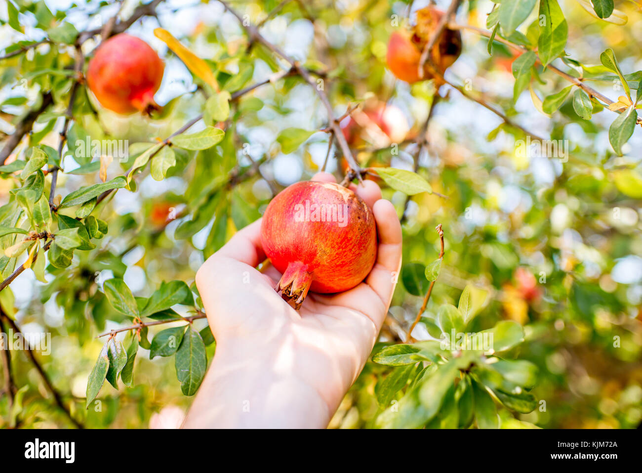 Pomegranate fruit on the tree - Stock Image