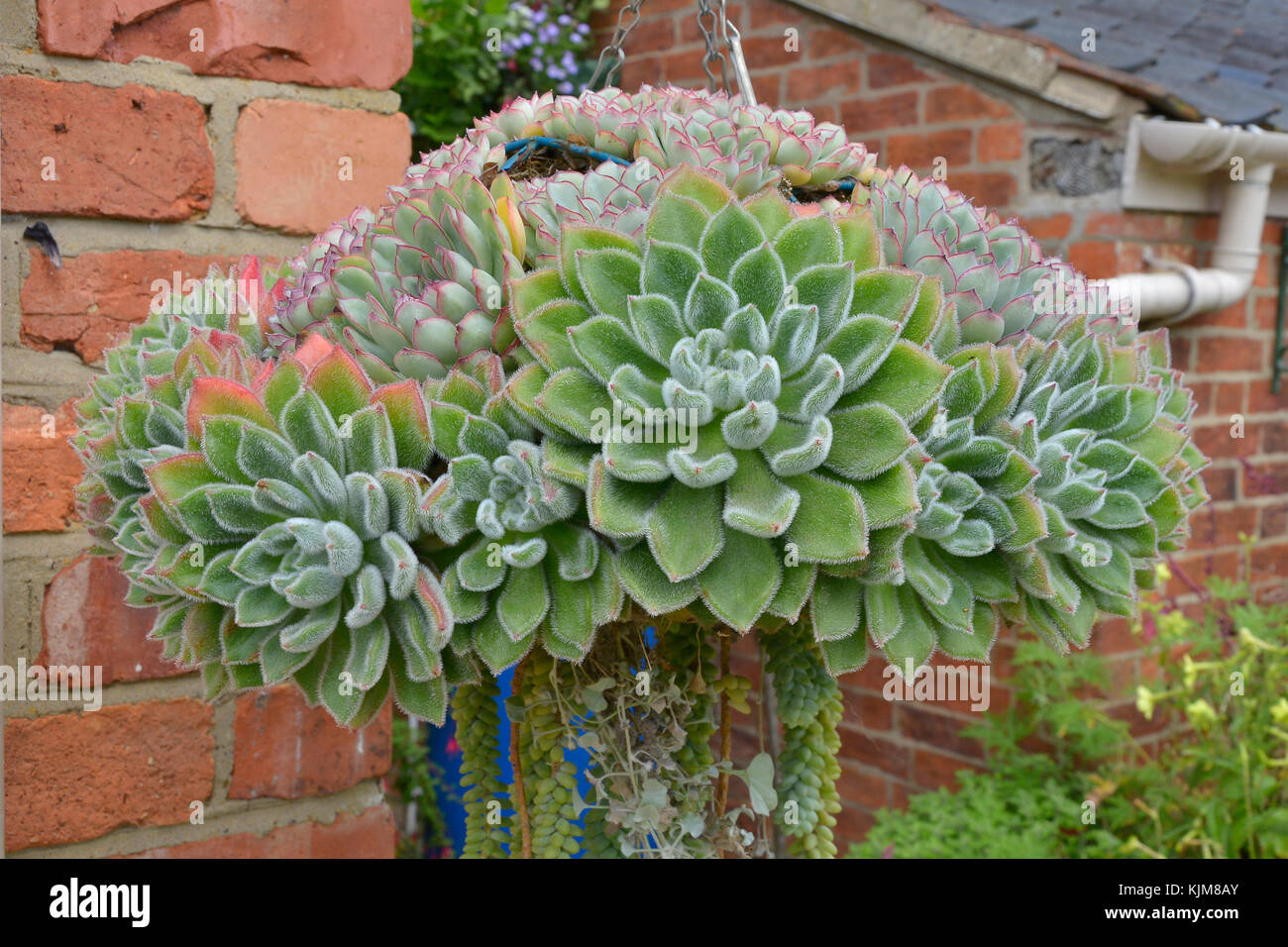 Succulent Hanging Basket High Resolution Stock Photography And Images Alamy