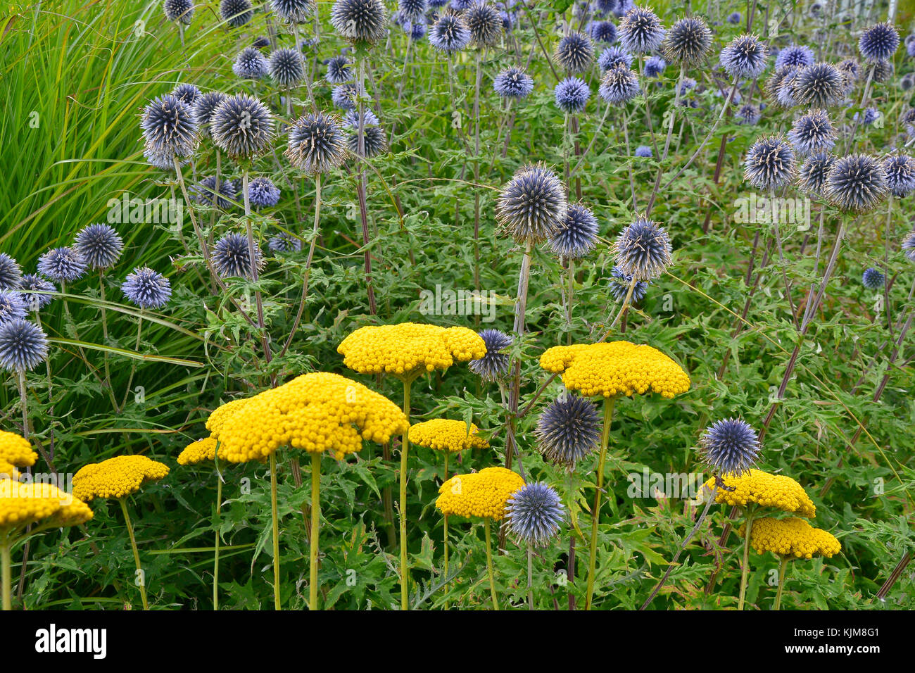 A flower border with grasses. Achillea and Globe Thistle in a cottage garden - Stock Image