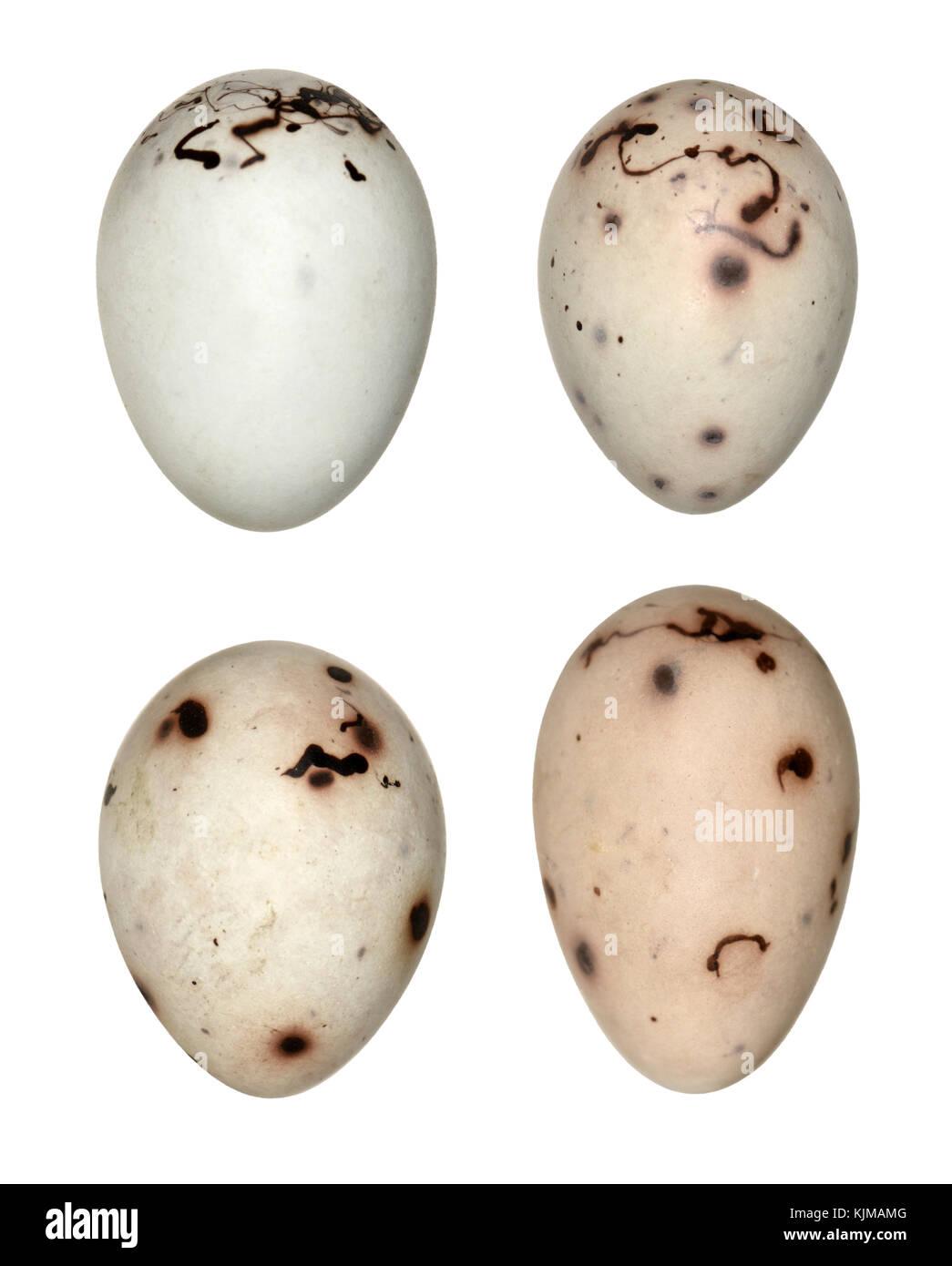 Chaffinch - Fringilla coelebs - Stock Image