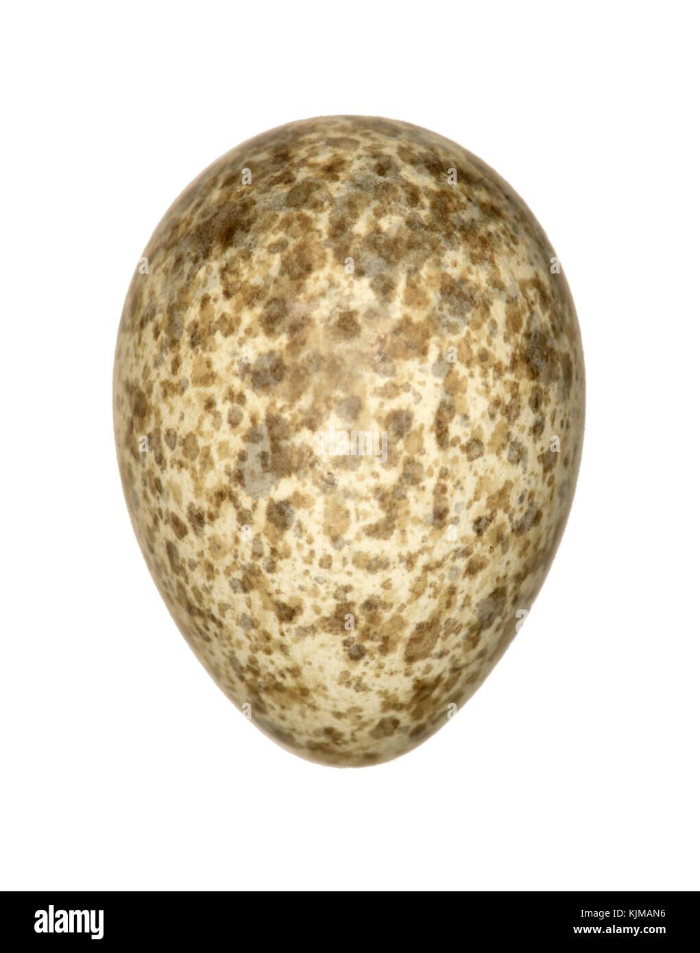 Crested Lark - Galerida cristata - Stock Image
