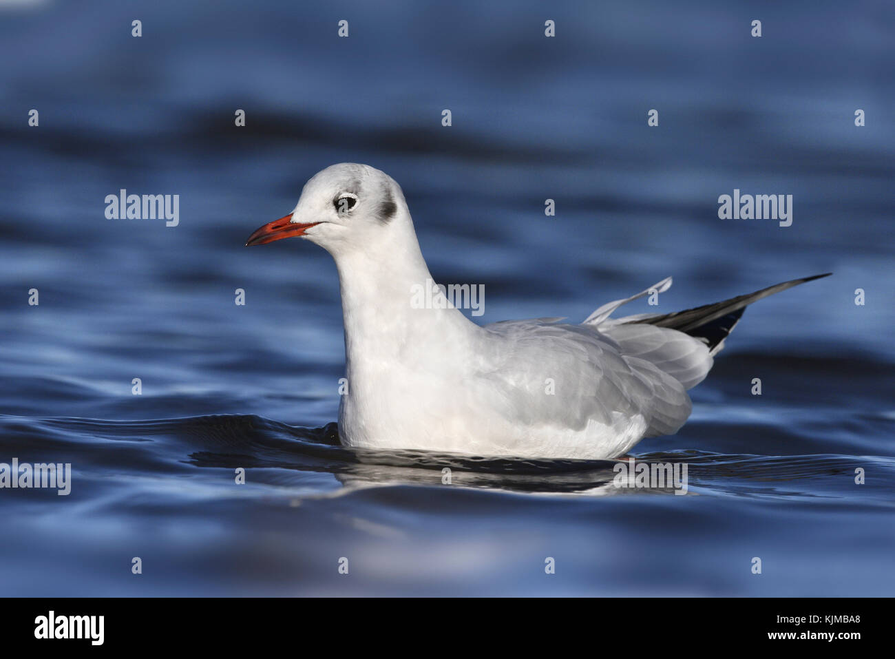 Black-headed Gull - Larus ridibundus - Stock Image