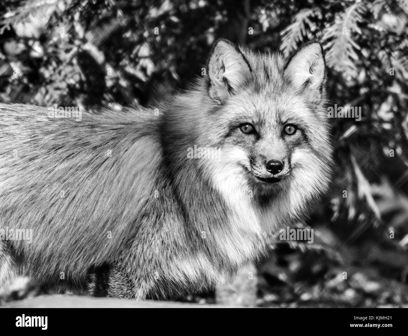 Red Fox (Vulpes volpes) in the forest, black and white - Stock Image