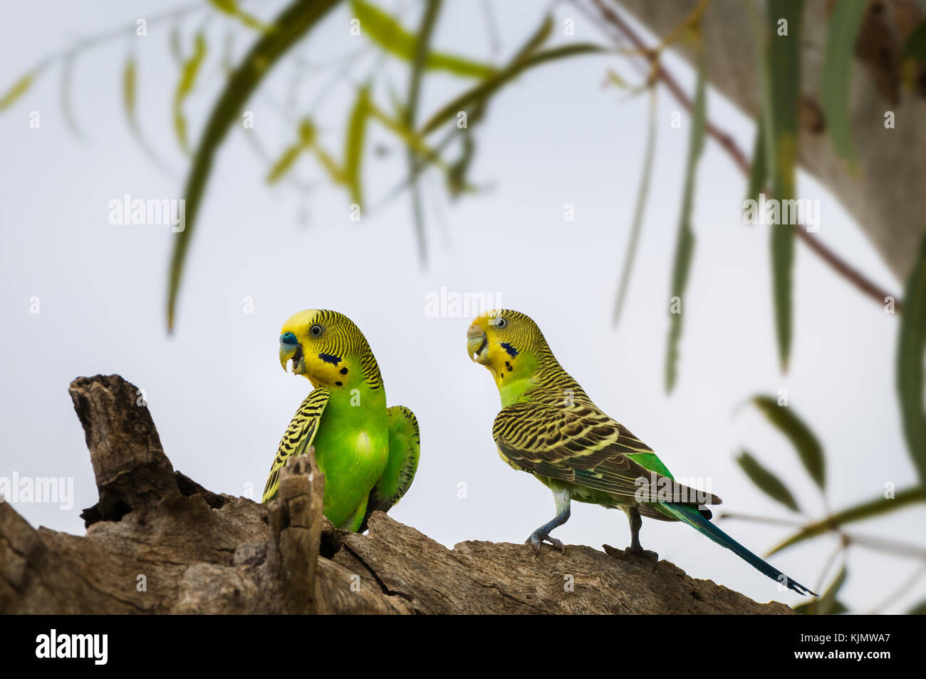 Pair of Budgerigars sitting in a River Red Gum tree. - Stock Image
