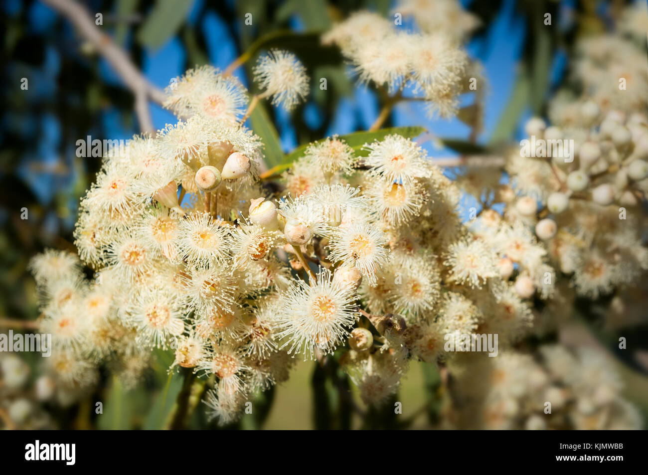 White blossom of a Ghost Gum. - Stock Image