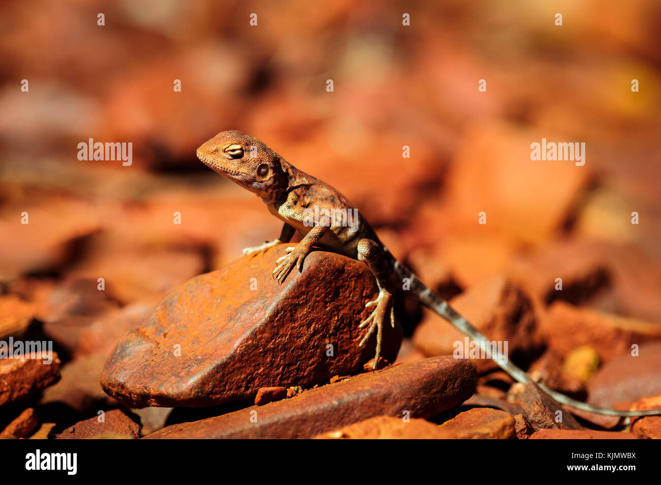 Well camouflaged Ring-tailed Dragon. - Stock Image