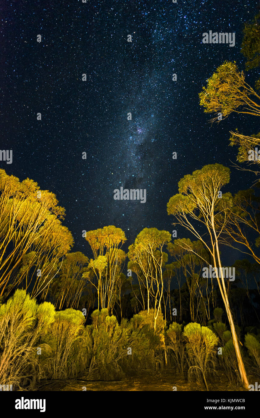 Nightsky with stars over Mallee forest. - Stock Image