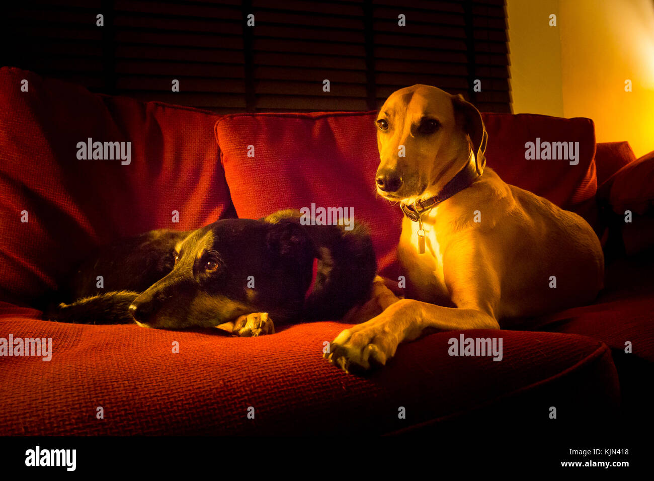 Two dogs lying on a red sofa - Stock Image