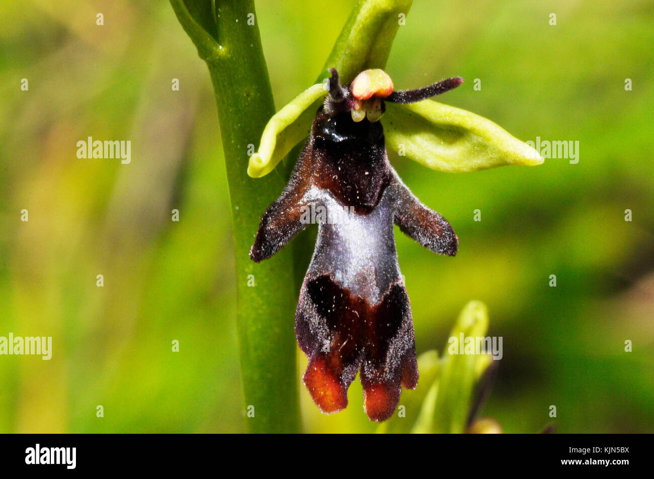 Fly Orchid 'Ophrys insectifera' grows on calcareous soil, close up,flowers May and June,orchid, vulnerable,Somerset, - Stock Image