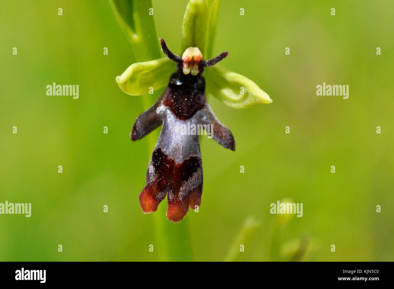 Fly Orchid 'Ophrys insectifera' grows on calcareous soil,flowers May and June,orchid, vulnerable,Somerset, - Stock Image