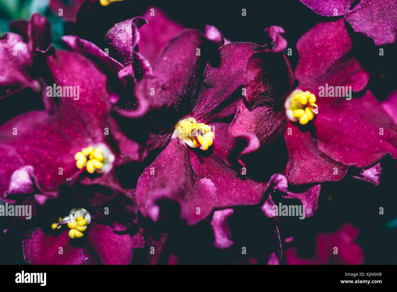 close up of yellow pollen on redish-purple african violets - Stock Image