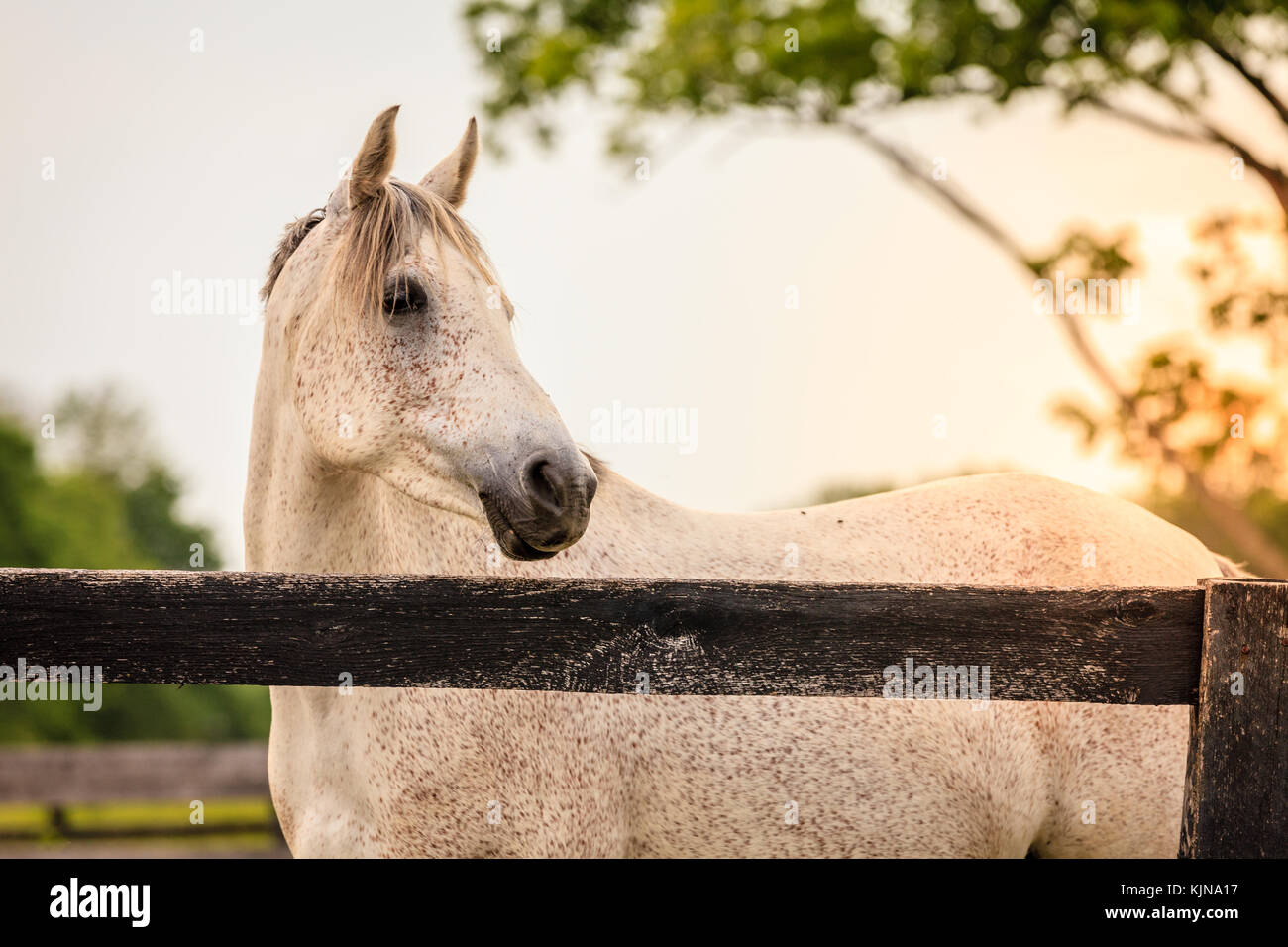 Portrait of a beautiful gray horse standing by the fence on a horse farm in Kentucky - Stock Image