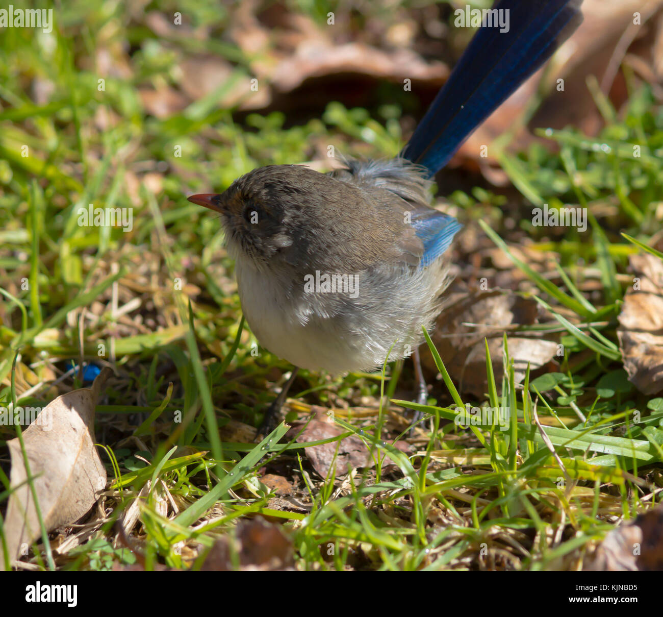 Female  Splendid Fairywren (Malurus splendens),  Splendid Wren or  Blue Wren in Western Australia  a passerine bird - Stock Image