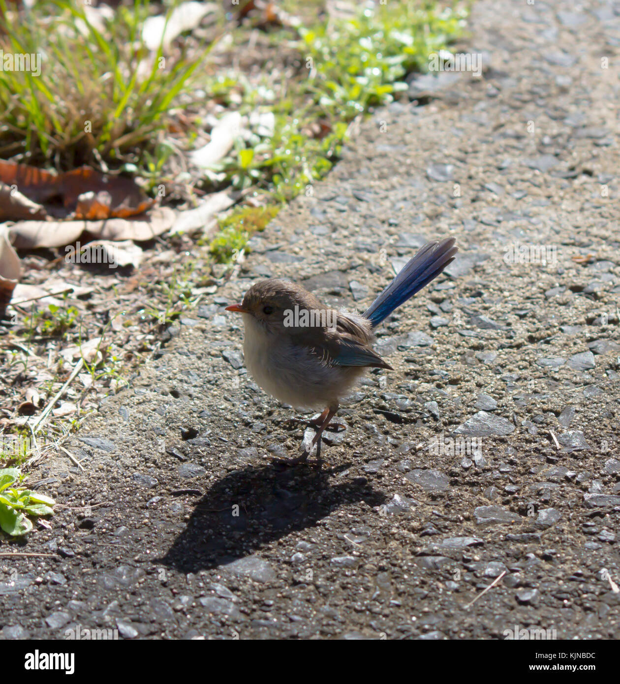 Female  Splendid Fairywren (Malurus splendens),  Splendid Wren or  Blue Wren in Western Australia  a passerine bird Stock Photo