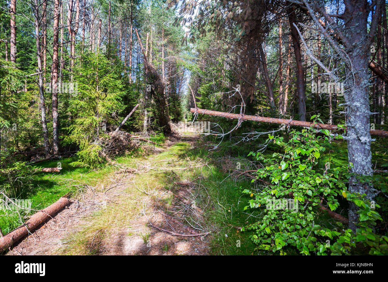Deep forest with green spruces and pine trees in summertime. Wild flora and nature of Northern Europe - Stock Image