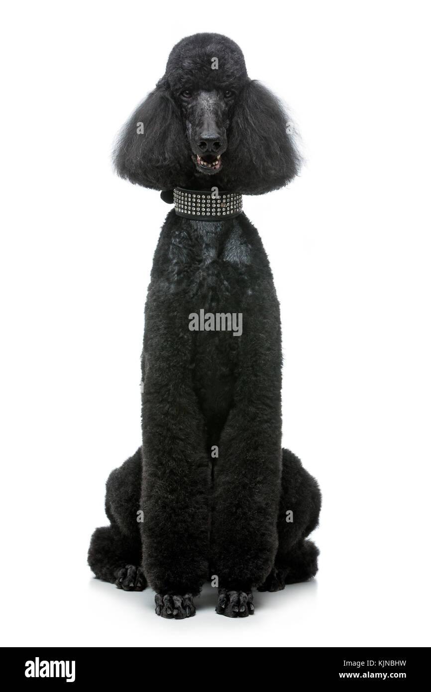 beautiful black poodle dog isolated on white - Stock Image