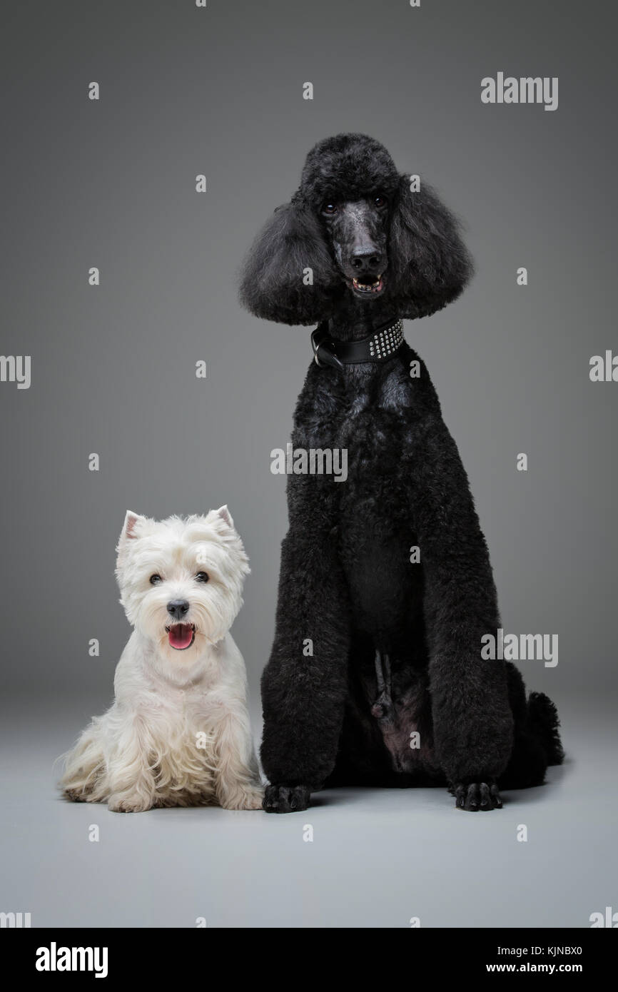beautiful black poodle and westie dogs on grey background - Stock Image