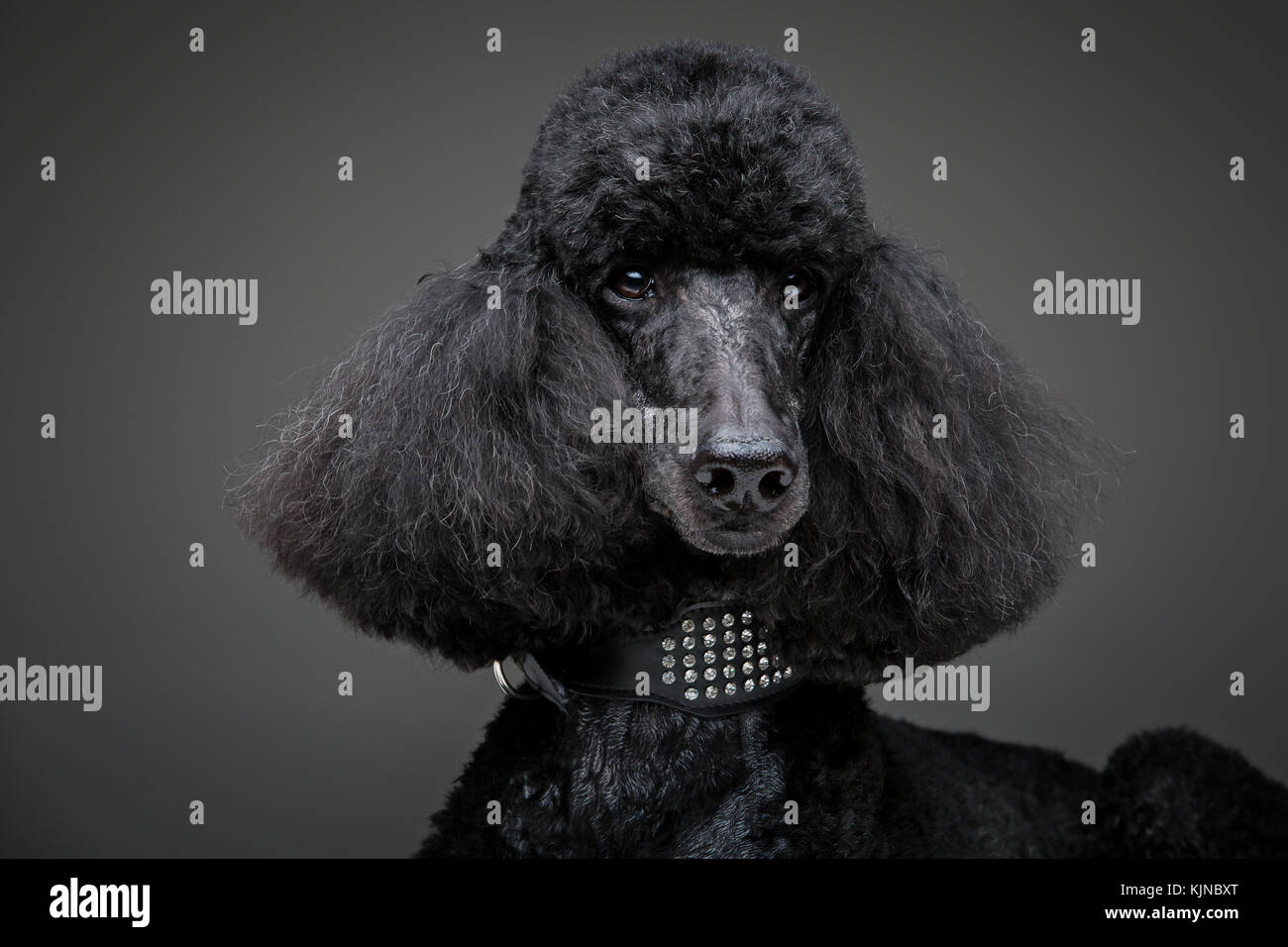 beautiful black poodle on grey background - Stock Image