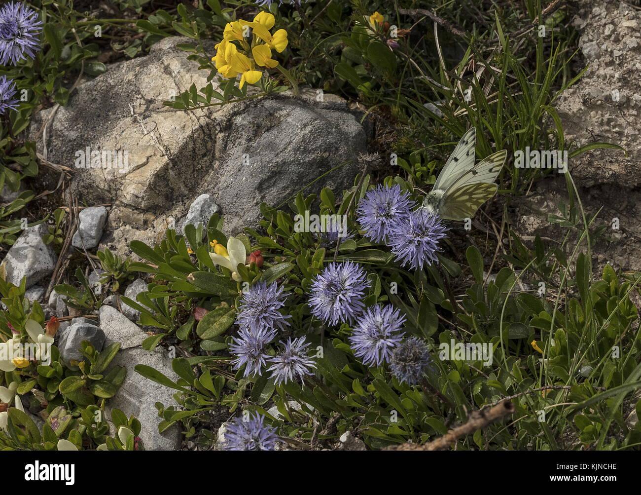 Peak White, Pontia callidice, nectaring on Matted Globularia, Globularia cordifolia, Swiss Alps. - Stock Image