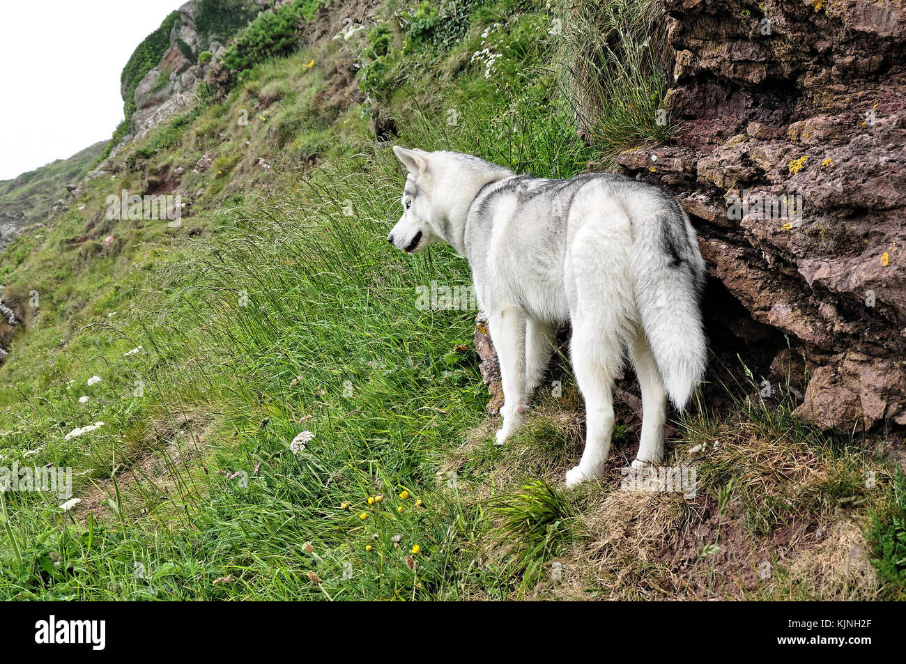 grass landscape Siberian husky dog wolf - Stock Image