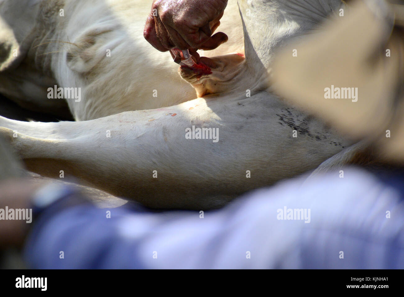Castration Stock Photos Amp Castration Stock Images Alamy