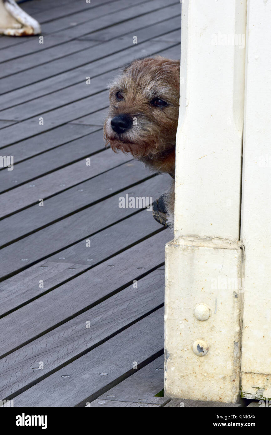 A very cute and cuddly little cairn terrier dog peeping around the corner of a wooden shelter on Cromer pier in - Stock Image